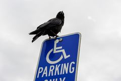 A crow perched on a sign for the disabled in a parking lot. royalty free stock images