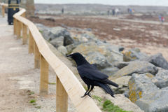 Crow perched on wooden fence overlooking beach Royalty Free Stock Photo