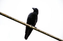Crow perching Royalty Free Stock Image