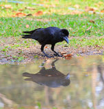 Crow perching on ground and watching to reflection shadow in wat Royalty Free Stock Photo