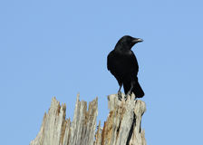 Crow perching Royalty Free Stock Images