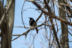 Crow perching in a tree Royalty Free Stock Photo