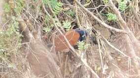 Crow Pheasant Bird in the bush. stock footage
