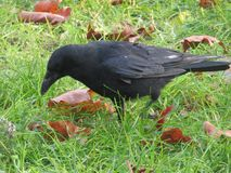 Crow picking up a peanut in Crystal Palace Park royalty free stock photo