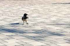 Crow with a piece of food in his beak standing on the tiled sidewalk.  royalty free stock image