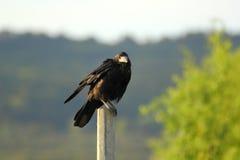 Crow on a pillar Stock Images
