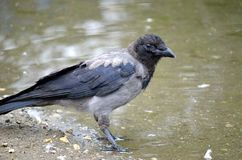 Crow on pond shore Royalty Free Stock Photos