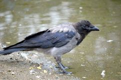 Crow on pond shore Royalty Free Stock Photo