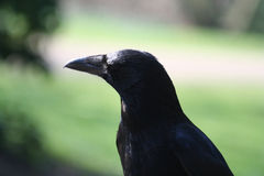 Crow portrait, Corvus corone Stock Photos