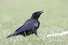 Crow portrait Royalty Free Stock Images