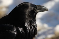 Crow in portrait Stock Image