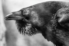 Raven portrait. Bird head with open beak. Corvus corax Stock Photo