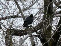 Crow Profile. Crow in barren tree looks out from branch Royalty Free Stock Photos