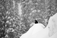 Crow in winter snowfall. Profile of a crow in gentle snowfall Stock Photos