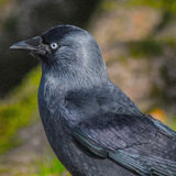 Crow Profile Royalty Free Stock Photo