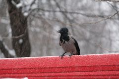 Crow on a public bench during a snowy day in Bucharest Stock Images
