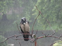 Crow in the rain Royalty Free Stock Photos