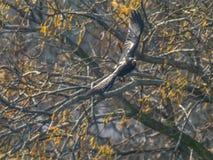 Crow rapidly flying around the tree Stock Photos