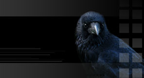 Crow, raven Stock Image