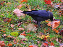 Crow. / raven Royalty Free Stock Images
