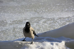 Crow, Raven, bird with gray and black feathers is on the ice Stock Photo