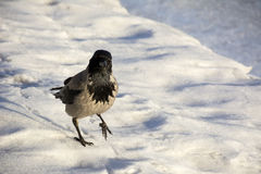 Crow, Raven, bird with gray and black feathers is on the ice, wi Royalty Free Stock Images