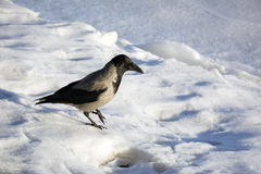 Crow, the Raven, the bird standing on the ice, winter, cold, loo Stock Photo