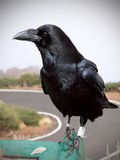 Crow or raven portrait. On mountaintop in La Palma stock photo