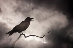 Crow or raven resting on a barren tree branch. stock images