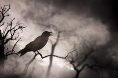 Crow or raven resting royalty free stock image