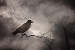 Crow or raven resting. On a barren tree branch stock photography