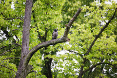 Crow raven sitting on tree Stock Images