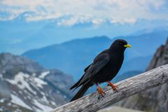 Crow, Rigi, Switzerland Royalty Free Stock Photos