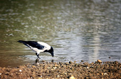 Crow at the river drinking water Royalty Free Stock Photos