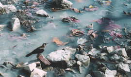 Crow on a river. A crow sitting on a rocks of a river Royalty Free Stock Photo