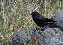 Crow on a Rock Stock Photography