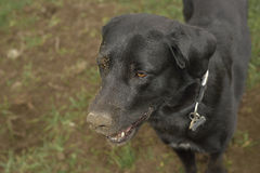 Crow romanian shepard dog in green field with dirty nose of ground. After  digging a hole in the ground Stock Photos