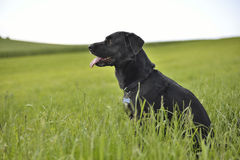 Crow romanian shepard dog in green field. Crow romanian shepard dog resting in green field. Soft focus Stock Image