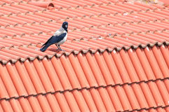 Crow roof Stock Images