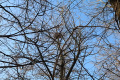 Crow`s nest on a tree Royalty Free Stock Photography