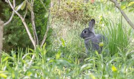 Crow`s nests. A cute, gray rabbit in a garden Stock Images