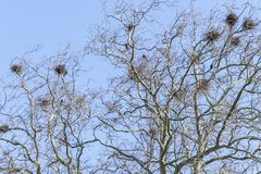 Crow`s nests Stock Images