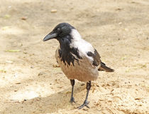 Crow on the sand. Portrait of the crow on the sand Stock Images