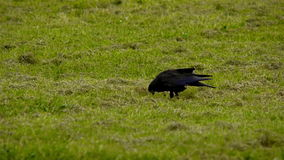 Crow searching for food stock video