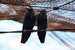 Crow seating one row looking one side royalty free stock image