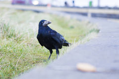 Crow. Seeking food in a car parking Stock Photography