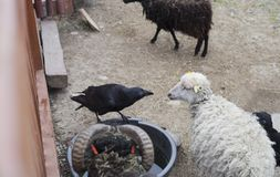 Crow and sheep gaze at each other. Black Crow and sheep gaze at each other Stock Image