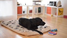 Crow shepherd dog chewing bone in living room stock video