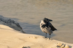 Crow on the shore Royalty Free Stock Photos