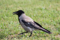 Crow. A shot of a crow in a field royalty free stock images